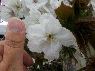 花見でランチ